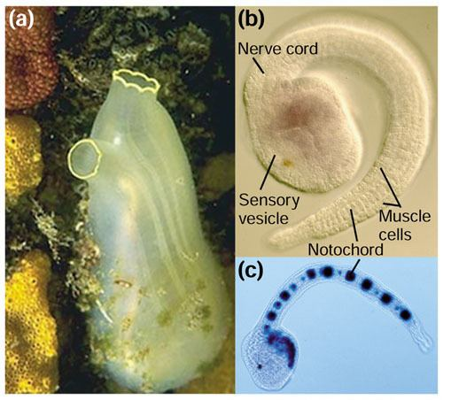Ciona intestinalis Ciona intestinalis sea squirt model ascidian tunicate and chordate
