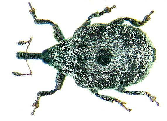 Cionus Cionus longicollis