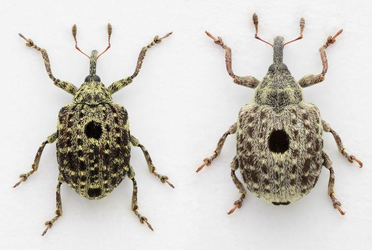 Cionus Cionus hortulanus and Cionus longicollis Mark Gurney Flickr