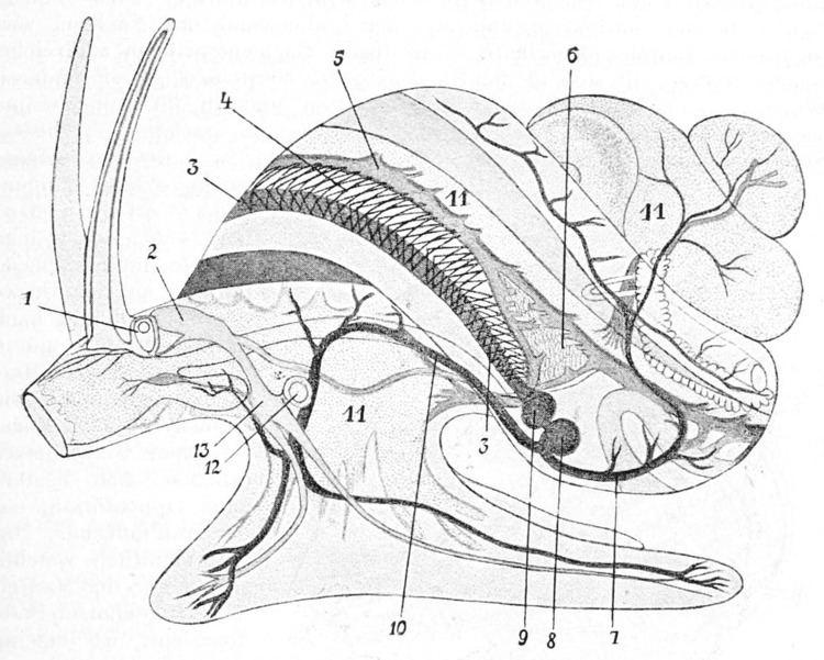 Circulatory system of gastropods