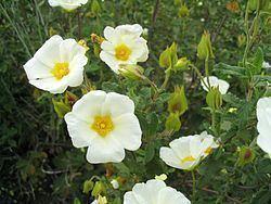 Cistaceae Cistaceae Wikispecies