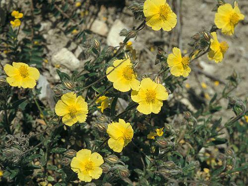 Cistaceae Cistaceae Flickr