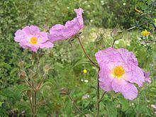 Cistaceae httpsuploadwikimediaorgwikipediacommonsthu
