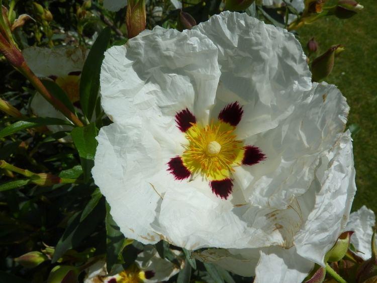 Cistaceae FileCistus cyprius 39Common Gum Cistus39 Cistaceae flowerJPG
