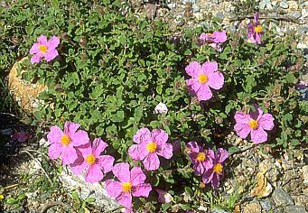 Cistaceae LONCAPA Botany online Dilleniidae Cistaceae