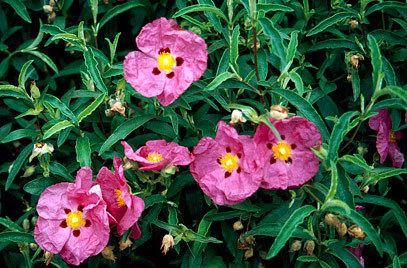 Cistus RHS advice amp tips on garden amp indoor plants Plant finder