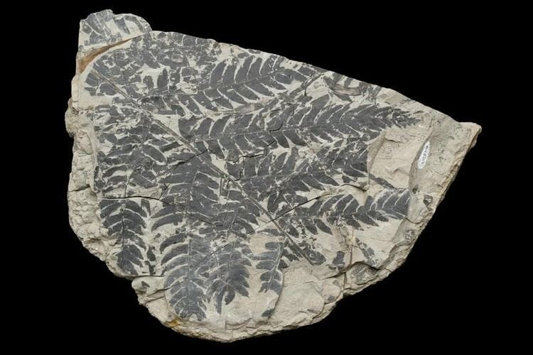 Cladophlebis Cladophlebis australis Morris 1845 A tree fern frond AU8653 on