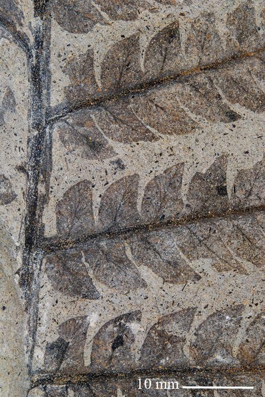 Cladophlebis CP China taxa recorded ak Naturhistoriska riksmuseet