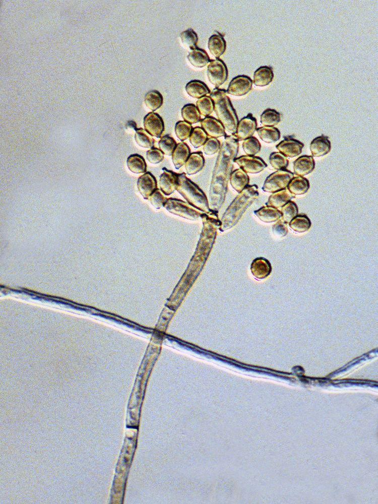 Cladosporium cladosporioides Cladosporium cladosporioides allergenic