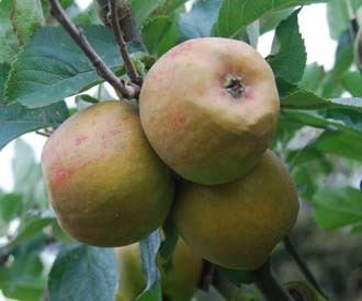 Claygate Pearmain wwwkeepersnurserycoukimagelibraryproductscl