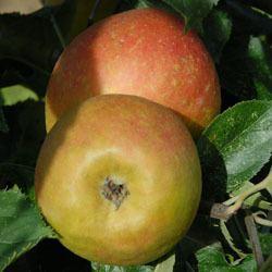 Claygate Pearmain Apple Tree 39Claygate Pearmain39 Malus domestica