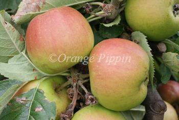 Claygate Pearmain Claygate Pearmain apple trees for sale Buy online Friendly advice