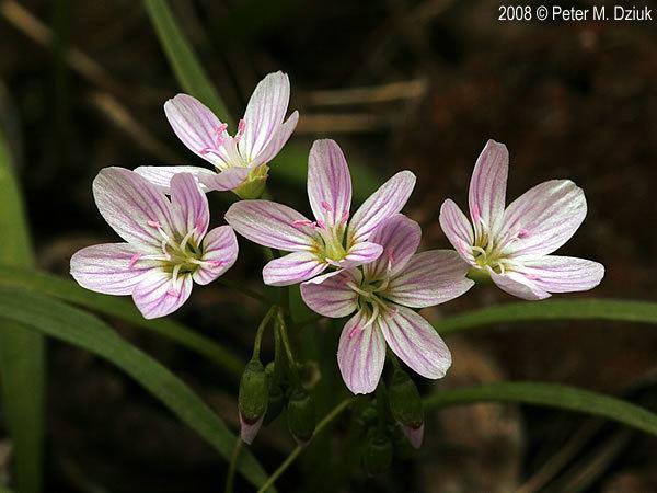 Claytonia Claytonia virginica Virginia Spring Beauty Minnesota Wildflowers