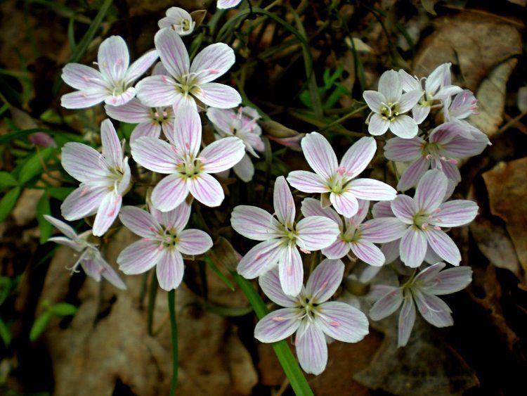 Claytonia Spring Beauty Claytonia virginica Flora Pittsburghensis