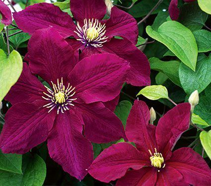 Clematis alchetron the free social encyclopedia clematis clematis white flower farm mightylinksfo
