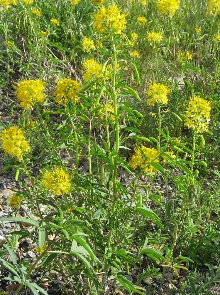 Cleome lutea Stevenson Intermountain Seed Cleome lutea