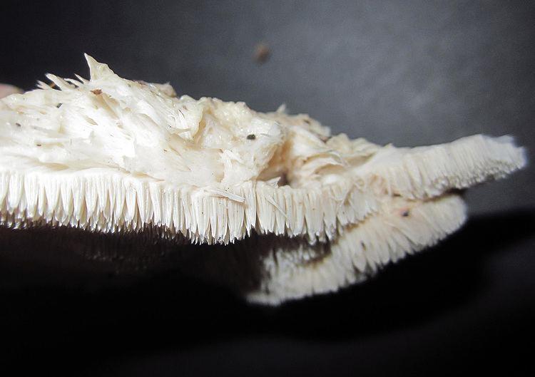 Climacodon pulcherrimus Maryland Biodiversity Project No Common Name Climacodon pulcherrimus