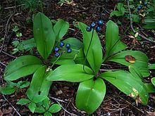Clintonia borealis httpsuploadwikimediaorgwikipediacommonsthu