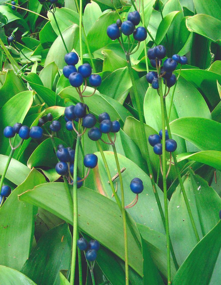 Clintonia borealis Clintonia borealis yellow bluebead lily Go Botany