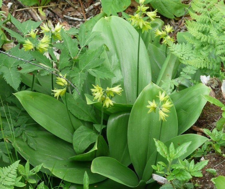Clintonia borealis Plants North Carolina Native Plant Society
