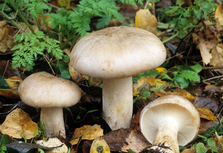 Clitocybe California Fungi Clitocybe nebularis