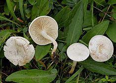 Clitocybe rivulosa httpsuploadwikimediaorgwikipediacommonsthu