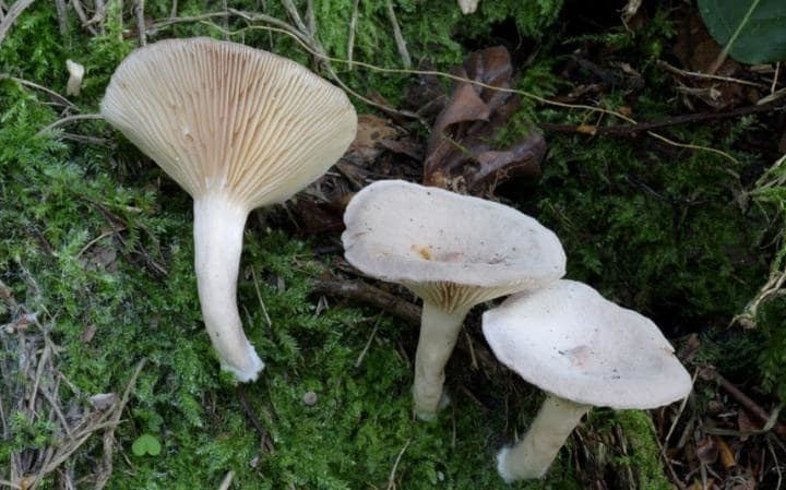 Clitocybe rivulosa Clitocybe rivulosa 10 poisonous mushrooms to watch out for in