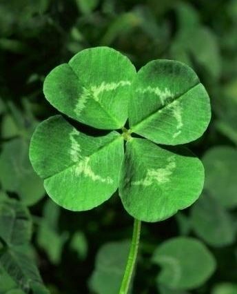 Clover Found a 5 leaf clover today mildlyinteresting