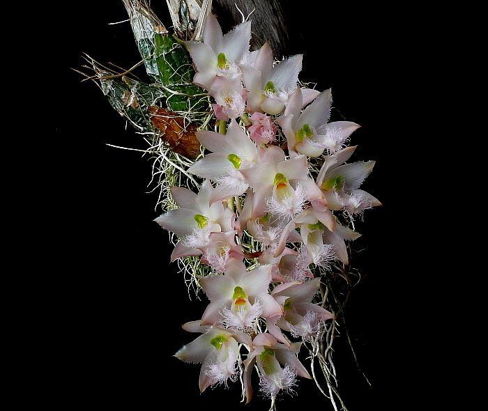 Clowesia Clowesia rosea