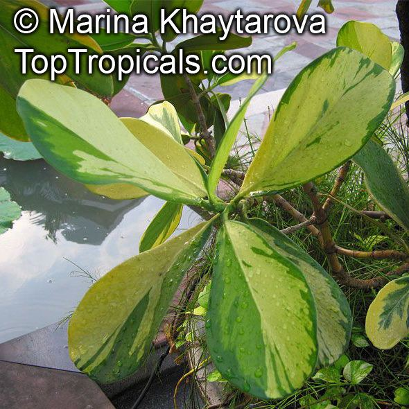 Clusia major Tropical plant catalog TopTropicalscom