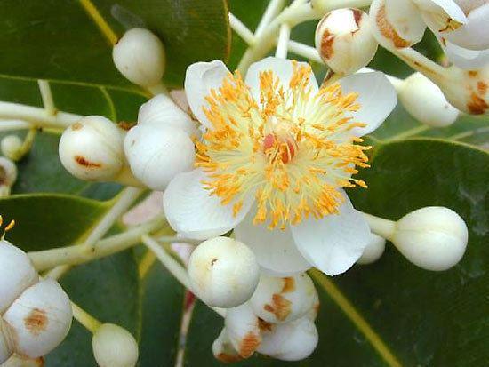 Clusiaceae httpsmedia1britannicacomebmedia771182770