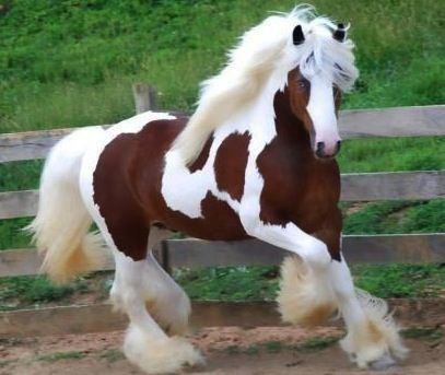 clydesdale horse   alchetron the free social encyclopedia