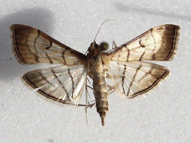 Cnaphalocrocis Cnaphalocrocis trapezalis African Moths