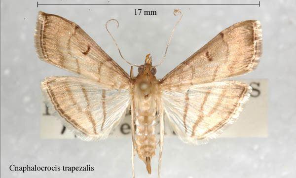 Cnaphalocrocis Cnaphalocrocistrapezalis2jpg