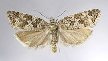 Cnephasia alticolana httpsuploadwikimediaorgwikipediacommonsthu