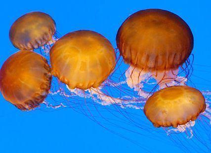 Cnidaria Cnidaria Wikipedia