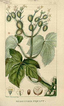 Cnidoscolus urens httpsuploadwikimediaorgwikipediacommonsthu