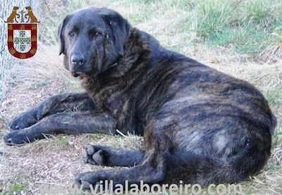 Cão de Castro Laboreiro Co de Castro Laboreiro Dog Breed Information and Pictures