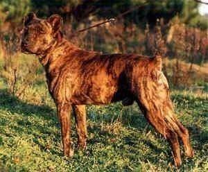 Cão Fila de São Miguel Co de Fila de So Miguel Dog Breed Information and Pictures