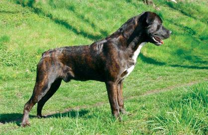 Cão Fila de São Miguel Cao Fila de Sao Miguel aka Saint Miguel Cattle Dog Canine Chronicle