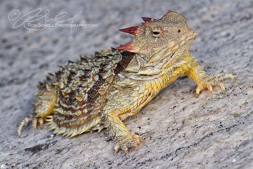 Coast horned lizard farm8staticflickrcom71756833547447ccb7748ecbjpg