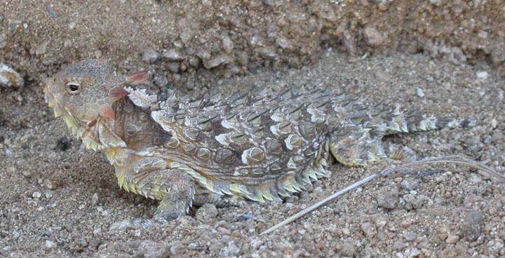 Coast horned lizard Coast Horned Lizard