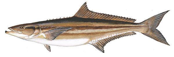 Cobia SCDNR Marine Species Cobia