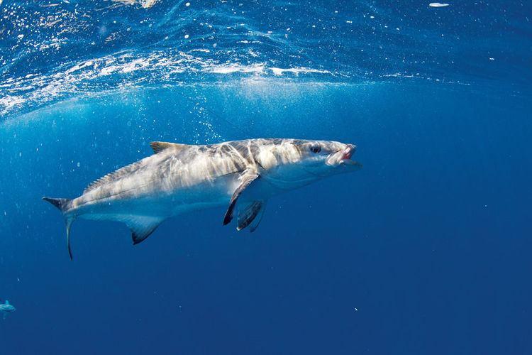 Cobia Cobia Fishing in Florida Australia and Japan Sport Fishing Magazine