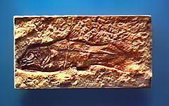 Coccoderma httpsuploadwikimediaorgwikipediacommonsthu