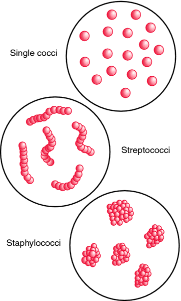Coccus Coccus definition of coccus by Medical dictionary