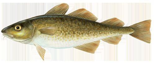 Cod Cod Marine Stewardship Council
