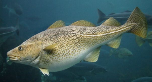 Cod Climate change turns cod to chowder in the Gulf of Maine