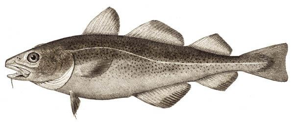 Cod Atlantic cod Wikipedia