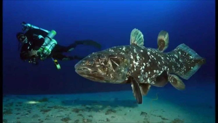 Coelacanth Coelacanth Ancient Fish in Indonesian Waters YouTube